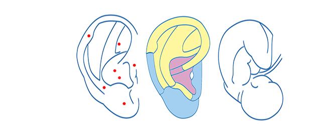 puntos maestros auriculoterapia